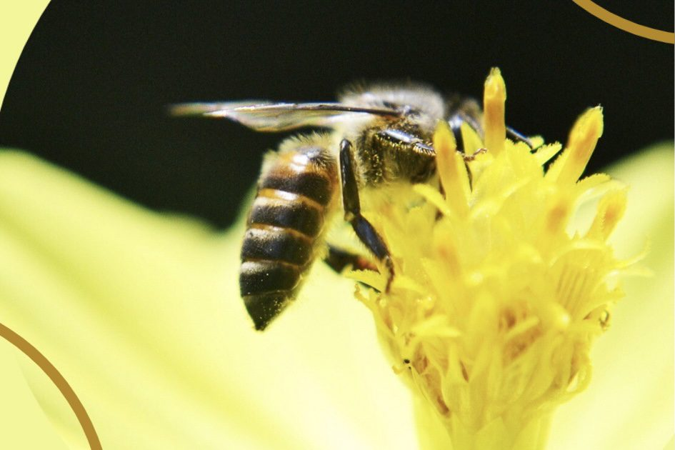 A giant bee pollinating a yellow flower