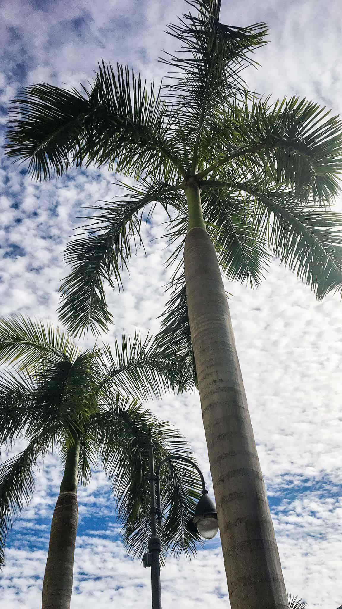 Palm trees against a cloud filled sky